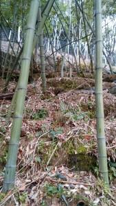 かたしぼ竹