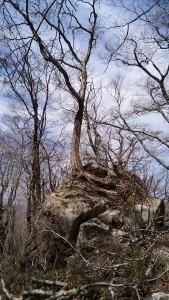 命の力比婆山岩の木
